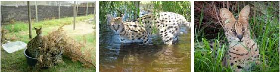 enr_cheetah_serval1