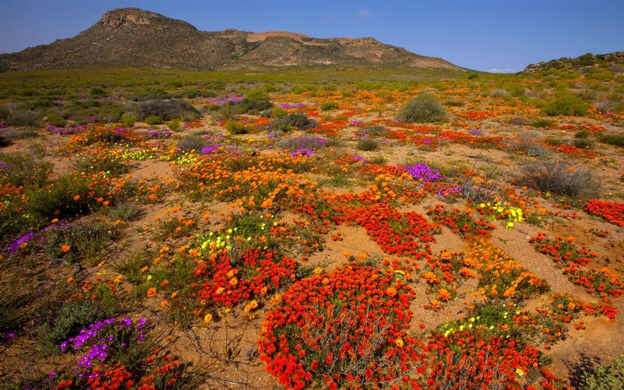 flower-fields-Springbok-Namaqualand