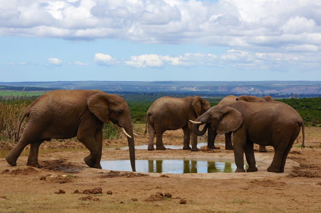 Addo Elephant Park. Photo Credit: Mario Micklisch- flickr.