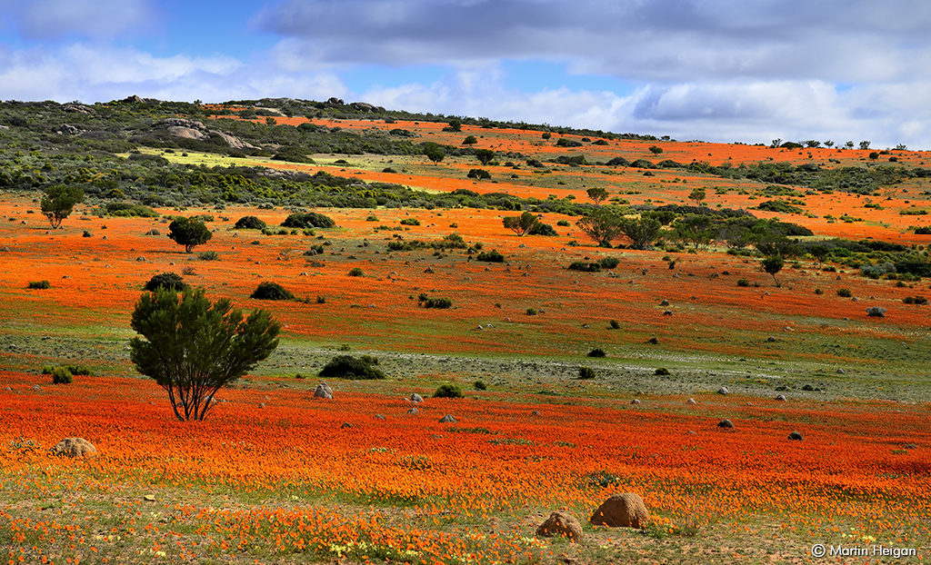 The wildflowers of Namaqualand. Photo Credit: Martin Heigan-flickr.