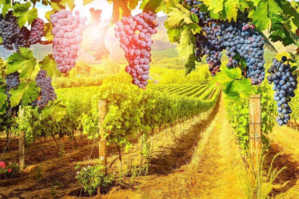 ACC Vineyard-min
