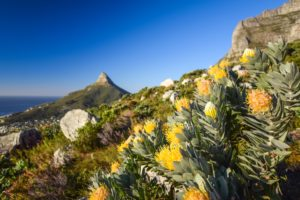 detail-view-of-yellow-pincushion-leucospermum-flowers-at-kasteelspoort-hiking-trail-in-table-mountain-national-park-cape-town-108341288-min