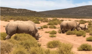 7 Into-the-bush-with-a-car-hire-Johannesburg-rhinoceros-min