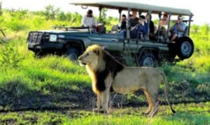 Into-the-bush-with-a-car-hire-Johannesburg-Safari-ride-with-lion-min