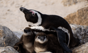 car-hire-cape-town-african-penguin-min