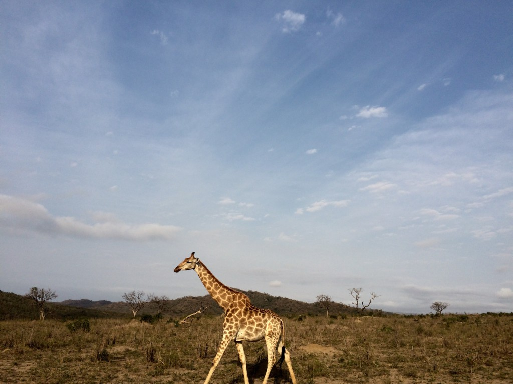 Spectacular Game viewing in Hluhluwe Umfolozi - Around About Cars