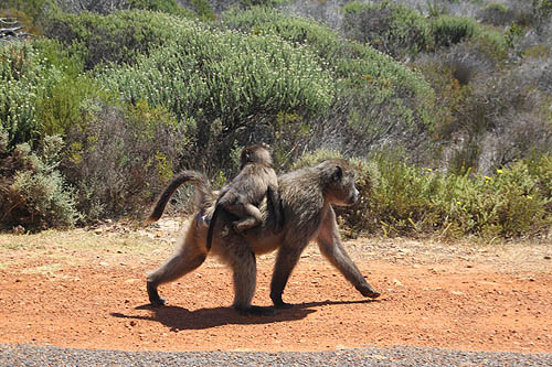 Baboon at Cape Point Table Mountain National Park.