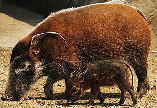 Bush Pig and piglet.