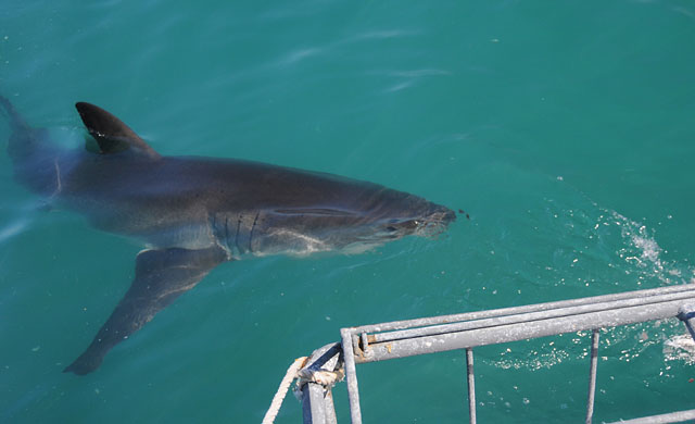 Large shark approaching the cage.