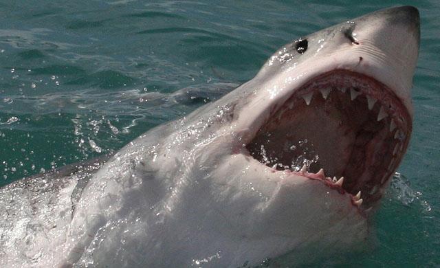 Large Shark breaching.